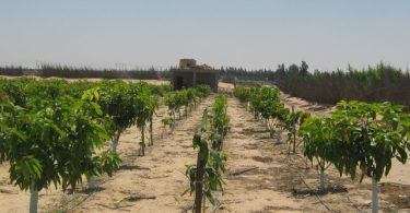 صورة مزرعة تم تحويلها من اصناف محلية الى اجنبية بالتحديد صنف الكيت