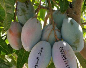 شجرة مانجو أوستين /osten mango