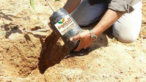 زراعة شتلة المانجو