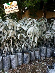 رش سليكات الألومنيوم على المانجو قبل الزراعة