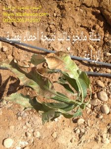 شتلة مانجو ماتت نتيجة أخطاء بعملية الزراعة